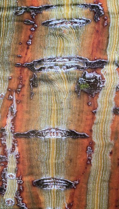 Acer x conspicuum 'Silver Cardinal', érable à peau de serpent