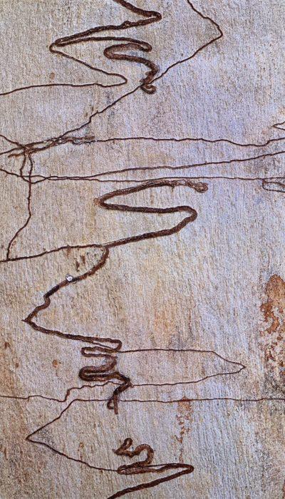 Eucalyptus rossii, eucalyptus à gribouillages